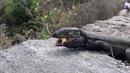 А Вы покормили ящериц на Тенерифе?