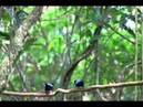 Long-tailed Manakin Lek in Santuario Ecológico Monteverde
