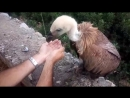 Local couple in Greece came across a parched Griffon vulture and set about helping it.