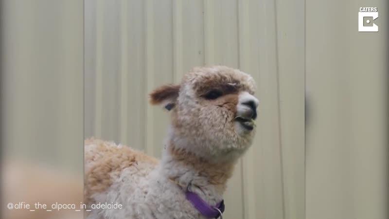 Альпака Альфи живет место фермы дома как домашний питомец Его владелец Джефф Ченг 32 года из Южной Австралии усыновил Альфи
