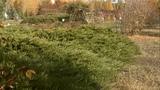 В Белгородской области массово воруют можжевельник