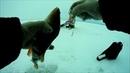Зимняя рыбалка ловля на балансир компании Strike Pro - Shifty Shad