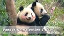 Pandas On Valentine's Day   iPanda
