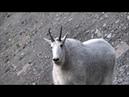Mountain Goat Mutant Goat ТАИНСТВЕННЫЕ ЖИВОТНЫЕ Жуткий мутант козел