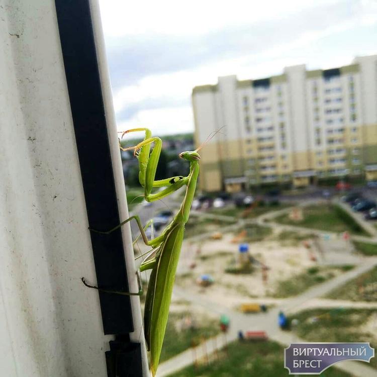 Богомолы опять в Бресте! Фотофакт из обычной квартиры