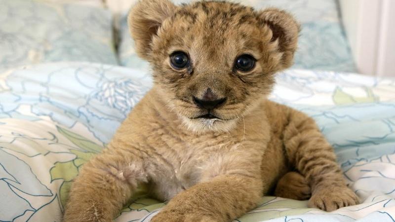 1 Best Cute Baby Lion Cubs Compilation ADORABLE!!