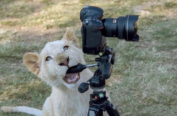 Львенок заигрался с камерой фотографа в Парке львов в Йоханнесбурге, ЮАР