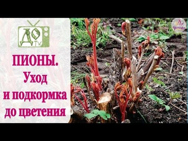 ПИОНЫ Уход и подкормка ВЕСНОЙ до цветения