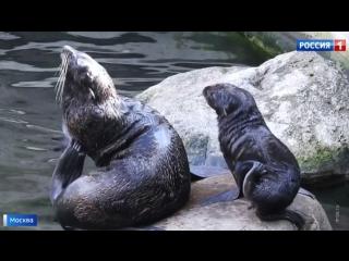 В Московском зоопарке впервые за 20 лет родился северный морской котик