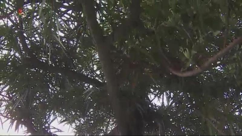 선물식물들에 비낀 위인칭송의 세계 -중앙식물원 국제친선식물관을 찾아서- 섬전나무, 큰잎키우리나무