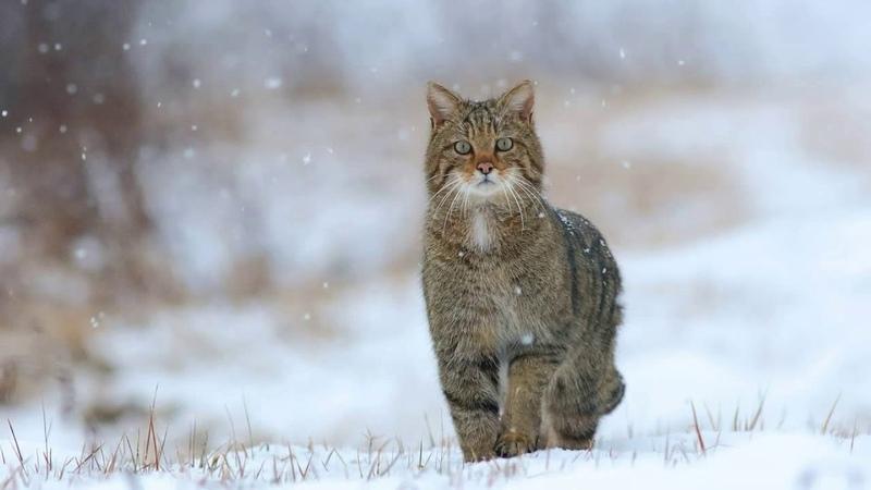 Картинка кошка. Дикая кошка, зима, снег. 🐈