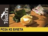 Как вырастить розу из букета - 7 дач