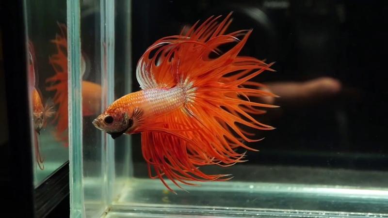 Male Super Orange Crowntail