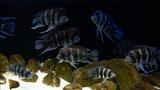 #BADC2018 Frontosa reef, Lake Tanganyika, Afrika, Kollwe Point, Cape Mpimbwe, 1000 L