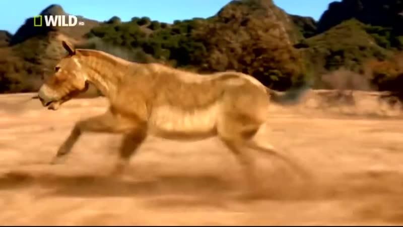 Доисторические хищники — Короткомордый медведь