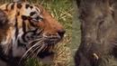 Tiger VS Boar BBC Earth