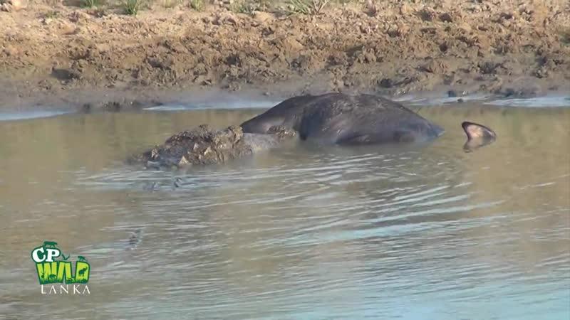 Болотный крокодил кормится на туше теленка