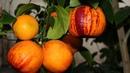 Необычный апельсин Радуга Как вырастить апельсин дома - в зимнем саду
