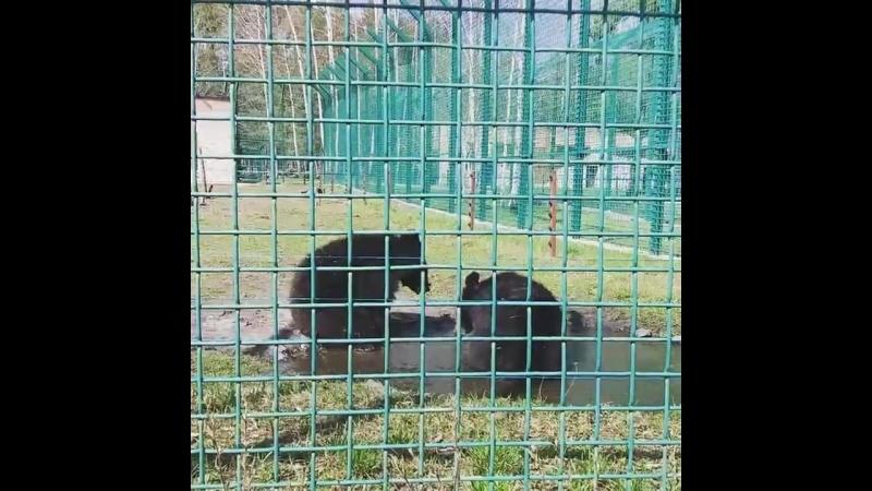 Гималайские медведи в белгородском зоопарке открыли купальный сезон