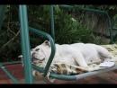 Белый бульдог Дикси отдыхает в саду