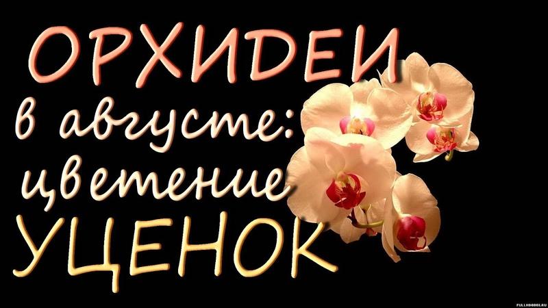 ОРХИДЕИ в августе ЦВЕТЕНИЕ УЦЕНОК