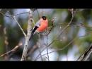 Пение птиц в природе.Снегирь обыкновенный