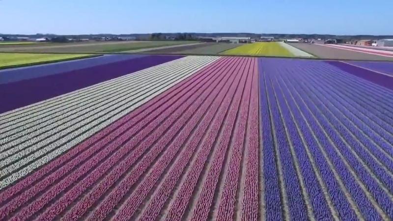 Цветение тюльпанов на полях в Голландии
