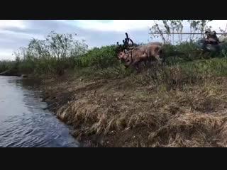 Ямалец переплыл реку на оленьей упряжке (480p).mp4