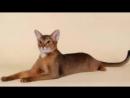 10 самых милых пород кошек №1