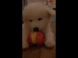 Собачка ест яблоко