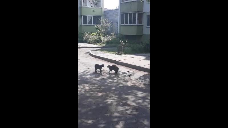 Драка двух котов и вороны