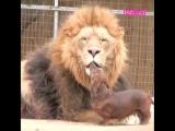 Лев и такса