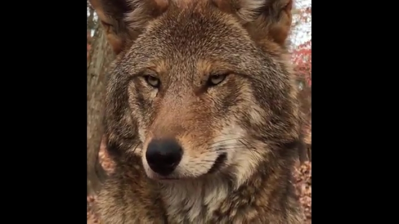 This could be the last red wolf you see. lupo.mp4
