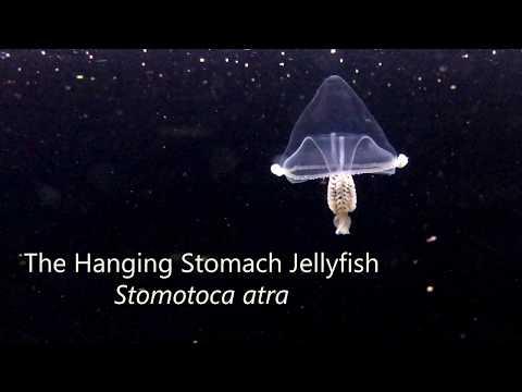 Hanging Stomach Jellyfish (Stomotoca atra)