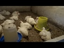В чем разница Промышленное и домашнее содержание цыплят бройлеров