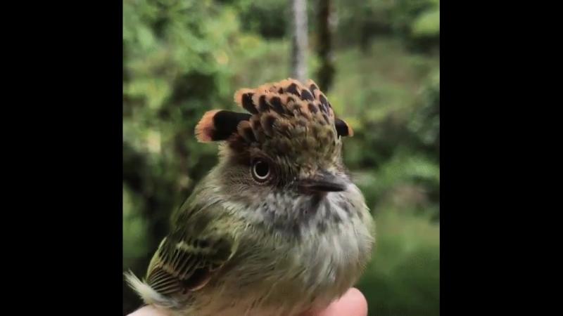 Амазонская королевская мухоловка - птичка в