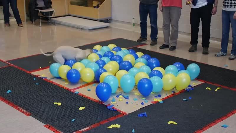 Мировой рекород - собака лопает шарики