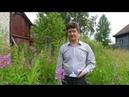 Как сделать ВКУСНЫЙ ферментированный ИВАН ЧАЙ заготовка и ферментация иван-чая.