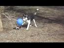 MVI_4886Хаски первый раз увидел шарик