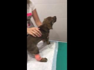 Щенок Алиса кричит в больнице от боли ДТП 2018-08-15