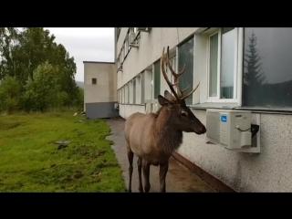 Раненый Марал в Дивногорске