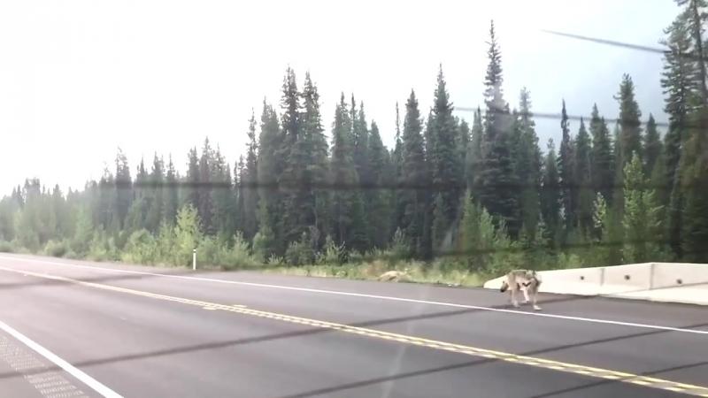 Серый волк преследует семью, которая находится в машине