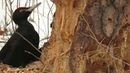 Черный дятел лесоруб, Желна (самец), Black woodpecker