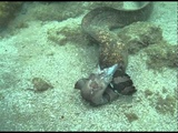 Moray Eels Fight to the Death!
