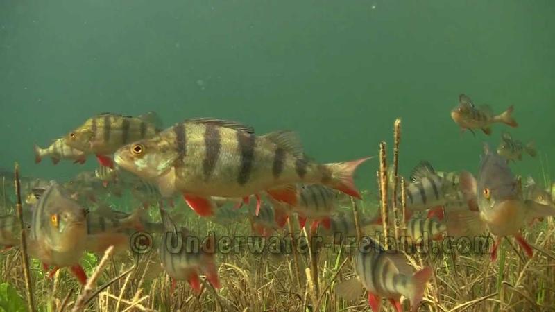 The fish I really love - perch aborre baars ahven perche barsch persico окунь perca okoń