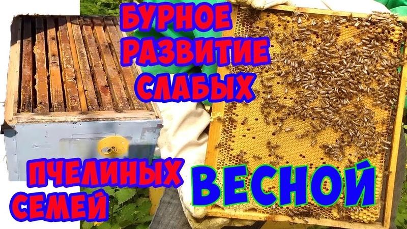 Развитие слабых пчелиных семей весной.Что делать, если Ваши пчелы слабые.