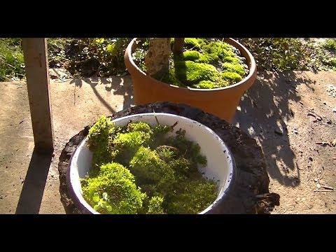 Как вырастить мох.