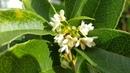 Fragrant Tea Olive 'Osmanthus Fragrans' update on growth