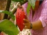 Что такое какао с момента его зарождения