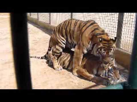 Тигры размножаются за клеткой!